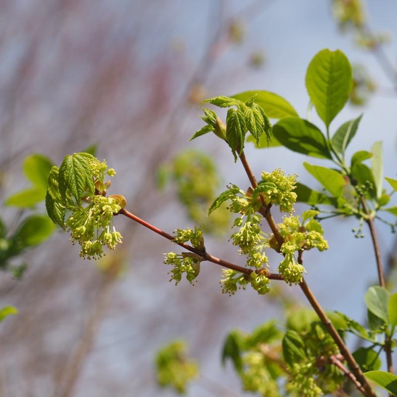 アサノハカエデ 日光植物園 Acer Argutum